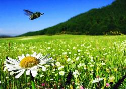 daisy field with a bee flying.jpg