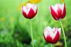 Trio of Tulips in Red & White with Blurred Background