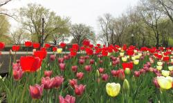 Tulips Garden with Trees in the Background