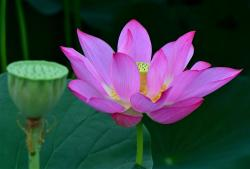 Pink Lotus Flower in the Pond