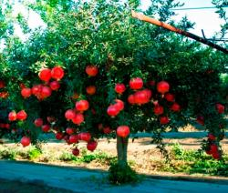 Beautiful fruit tree pictures with bright red pomegranate fruits