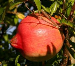 Close up picture of Pomegrante fruit