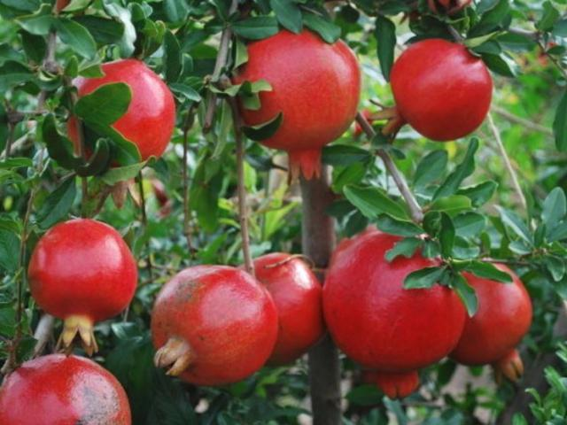 Healthy fruit tree photo of pomegranate fruits in bright red