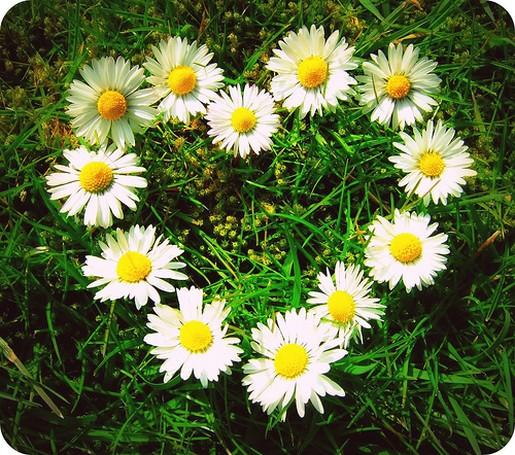 Daisies Heart
