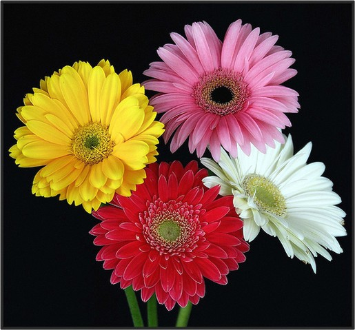 Color Daisies: Daisies In Four Different Colors.jpg