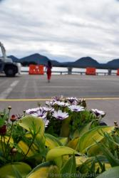Daisy Flowers in Ketchikan Alaska.jpg