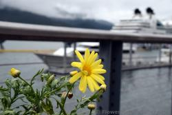 Yellow Daisy at Cruise Ship Dock in Juneau Alaska.jpg