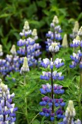 Lupine Wildflowers of Juneau Alaska.jpg