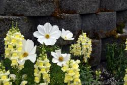 White & Bellflowers in Anchorage Alaska.jpg