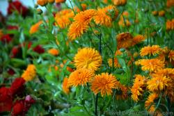 Orange Flowers in Anchorage Alaska.jpg