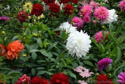 Dahlia Flowers in Anchorage Alaska.jpg