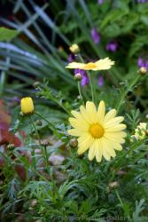 Yellow Daisy in Sitka Alaska.jpg