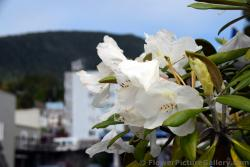 White Flower Oleander in Ketchikan Alaska.jpg