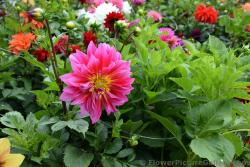 Beautiful Flame Like Dahlia Flower in Anchorage Alaska.jpg