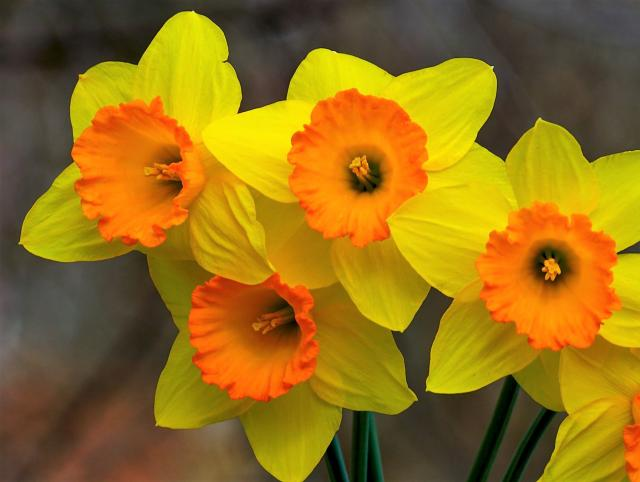 Close Up of Yellow Daffodil Flowers