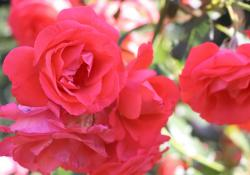 Delicate Red Rose Flowers