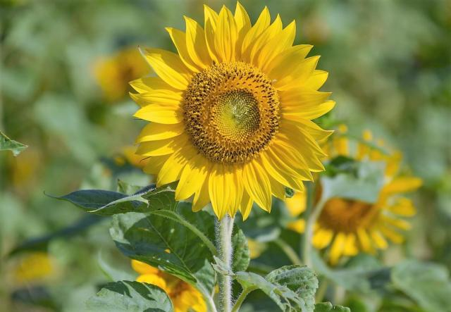 Detailed view of a Yellow Sunflower