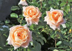 Light Peach Color Roses Trio