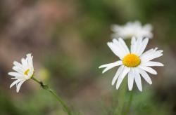 Pair of White Daisies in the Wind with Blurred Background