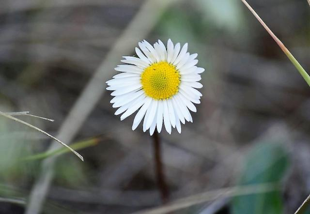 Small White Daisy Flower with Nice Blurred Background