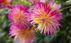 Spiky Dahlia Flower in Pink Yellow and White