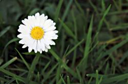 White Daisy Flower in the Field of Green Grass