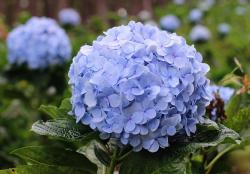 Lavender Color Mophead Hydrangea with Blurred Background