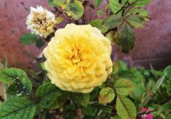 Light Yellow Miniature Rose Flower