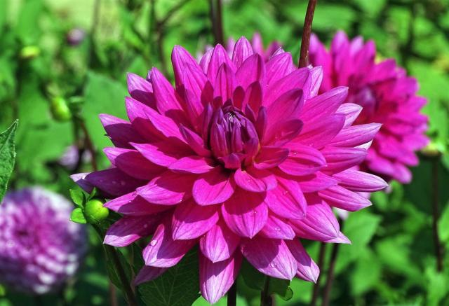 Magenta Dahlia Flower with Dew Drops