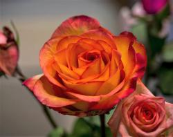 Orange Rose with Blurred Background
