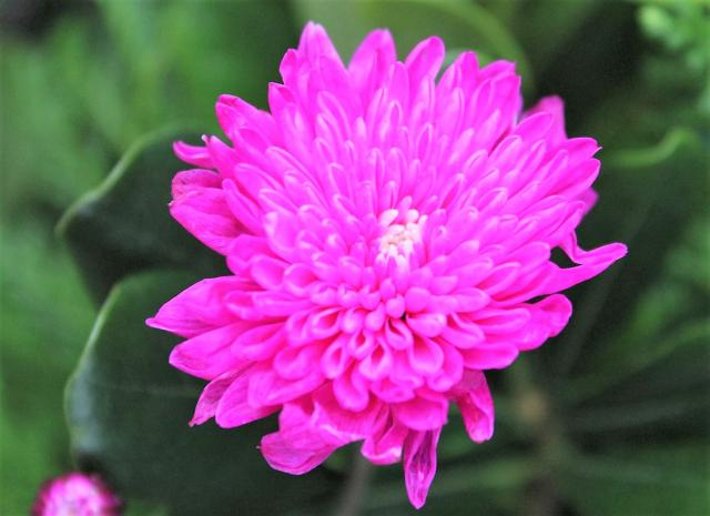 Pink Chrysanthemum Flower with Blurred Background