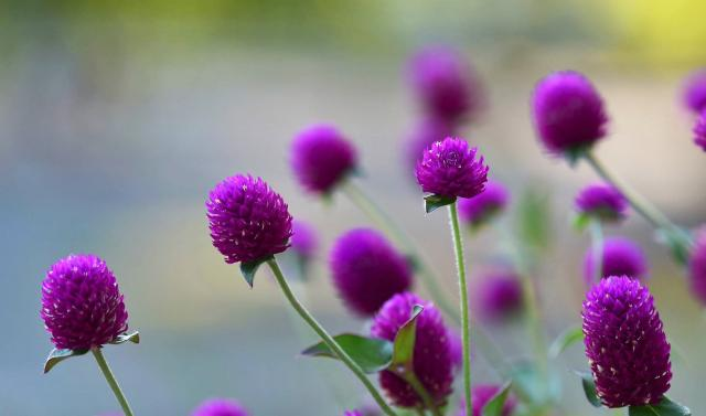 Pink Globe Amaranth Flowers with Blurred Background