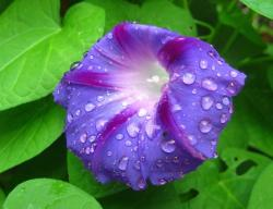 Purple Flower Morning Glory with Dew Drops