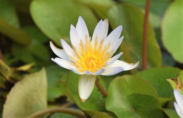 White Waterlily Flower with Yellow Center