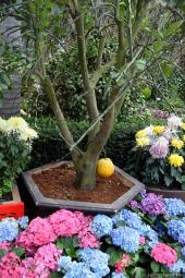 Mini Citrus Tree Surrounded by Hydrangea serrata and other Colorful Flowers