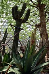 Tall Cacti inside Flower Dome