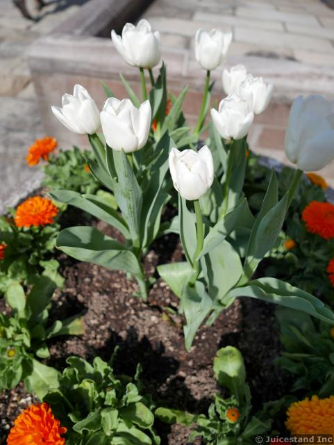 Flower Planter with White Tulips and Marigold Flowers