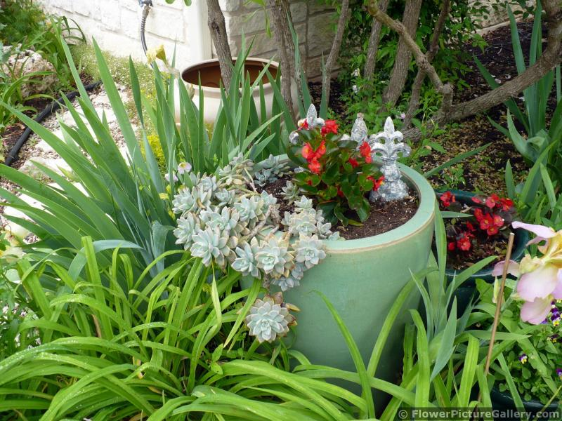 Flower Pot with Cascading Cactus and Red Begonia