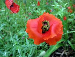 Red Poppy Flower with Dew Drops Close Up
