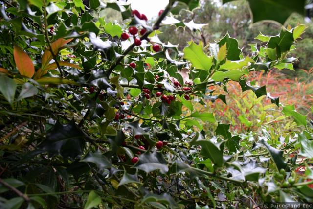 American Holly Berries and Tree Close-up