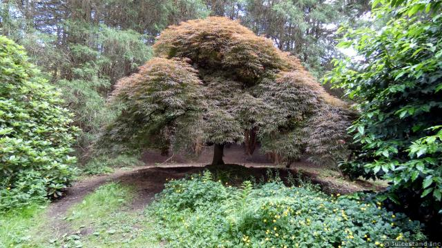 Huge Japanese Maple Tree