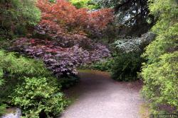Japanese Maple and Pine Tree Lined Pathway