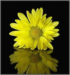 bright yellow daisy.jpg