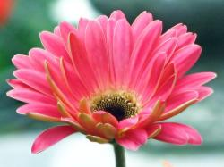 bright pink daisy picture.jpg