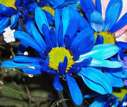 Bright Blue Daisy Flowers Picture Jpg