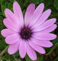 bridal purple flower.jpg
