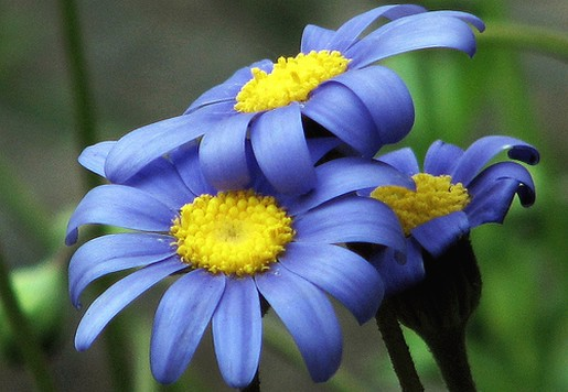 blue daisy flowers with yellow eyes.jpg