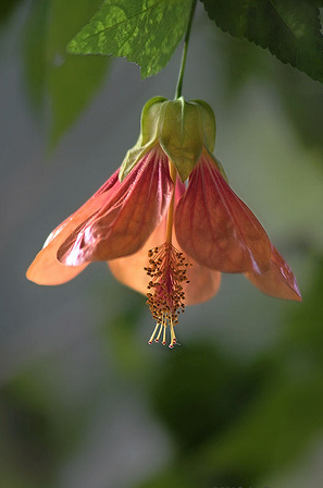 Chinese Lantern Flower in pink red.PNG