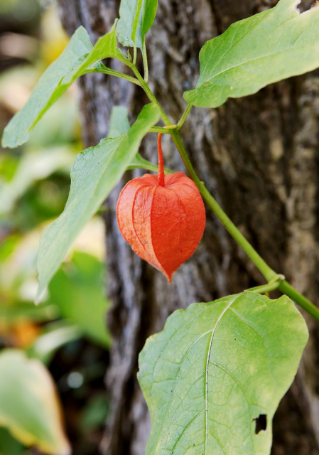 Chinese Lantern Flower plant picture.PNG
