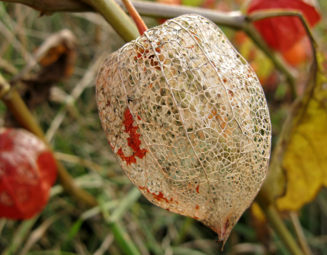 Dry Chinese Lantern Flowers.PNG